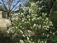 44 Shrubs for Shade   Best Shade Loving Shrubs   Balcony Garden Web Best Shrubs For Shade, Flowering Shrubs For Shade, Shade Loving Shrubs, Shade Shrubs, Shade Garden Plants, Shrubs For Landscaping, Front House Landscaping, Sky Pencil Holly, Hedge Trees