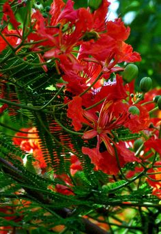 Delonix Regia, flame of the forest