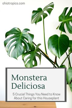 Monstera deliciosa care is easier than you think!   This post is the ultimate guide on growing Monstera deliciosa, including tips and tricks on repotting Monstera as well so that you can be the best plant parent that you can be!  #plantparent #houseplantcare #houseplants101