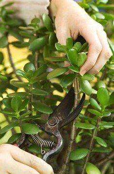 Как правильно формировать денежное дерево. У многих из нас есть денежное дерево («крассула», в простонародии «толстянка», иногда его также называют «деревом счастья»), но далеко не всегда оно вырастает красивым. Из-за ошибок в уходе растение тянется вверх, его ветви тонкие, длинные, а листья есть только на верхушке.