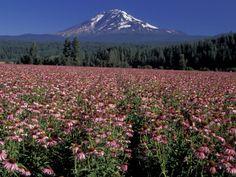 Trout Lake, Mt. Adams with Echinacea Flower Field, Washington, USA