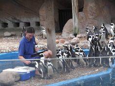 Penguin feeding at uShaka Marine World, Durban/ Кормление пингвинов в развлекательно-познавательном комплексе uShaka Marine World, Дурбан