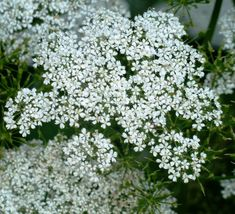 Anthriscus sylvestris Seeds £1.86 from Chiltern Seeds - Chiltern Seeds Secure Online Seed Catalogue and Shop