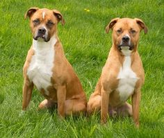 Roxy and Buddy are two-year-old brother / sister fawn and white Boxer mixes with warm brown eyes looking for a loving guardian – preferably together.Roxie and Buddy are not only brother and sister but best friends. They are snuggly smart dogs who...