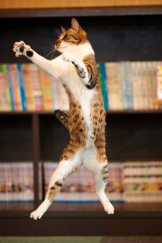 kitty cat jumping high leaping gato photo frozen moment - pet Cat memes - kitty cat humor funny joke gato chat captions feline laugh photo
