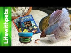 Feeding My  Betta Fish - YouTube