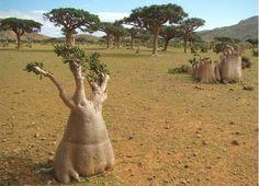 Socotra Island, Yemen. A jewel of biodiversity, 30% of plant life doesn't grow anywhere else.