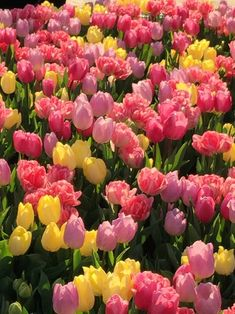 Sweet april showers do spring may flowers thomas tusser photograph image about nature in tulip by rozslinn mightylinksfo