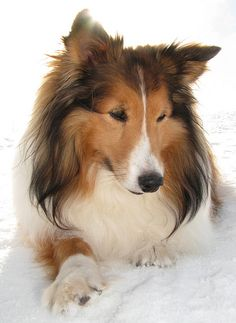 Shelties have such pretty facial expressions