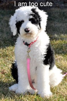 Sheepadoodle Puppies.  I think I want one of these next!