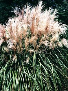 Showy plumes of tan/pink rise high above cascading blades, creating a dramatic focal point. Equally effective as a specimen plant or privacy screen. Northern gardeners can achieve the look of Pampas Grass (too tender for the North) with this Miscanthus.