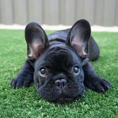 MURCIEGALO, French Bulldog Puppy