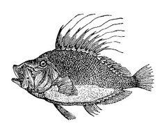 spiny back fish