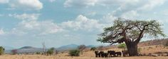 Ruaha National park is among wilderness game park for wildlife safaris in Southern circuit Tanzania. Southern circuit safari travel package is cheap and enjoyable. Read more and book tour http://www.kili-tanzanitesafaris.com/ruahanationalpark.htm