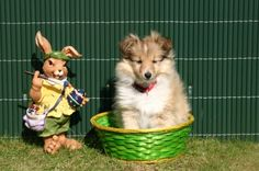 Sheltie and the bunny