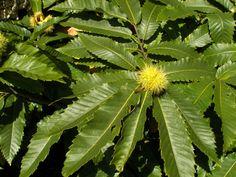 Castanea sativa / Fagaceae / MM / makk terméságaza