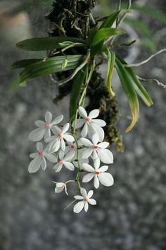 orchids in water culture Unusual Flowers, Amazing Flowers, White Flowers, Beautiful Flowers, Orchids Garden, Orchid Plants, Orquideas Cymbidium, Miniature Orchids, Rare Orchids