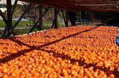 びっしり並んだ柿はやがて名物・古老柿に - 京都・宇治田原・立川にて (2011/11/25)