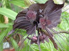 Fiore del diavolo o pianta pipistrello - Foresta di Keleth