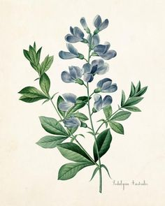 Podalyria Astralus Botanical Art Print