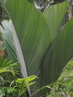 Peladoxa palm foliage growing at Secret Gardens Vanuatu