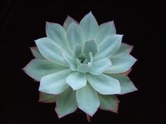 Echeveria 'Blue Light' | Flickr - Photo Sharing!