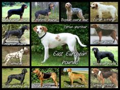 East European scenthounds (well, the Dal is not a scenthound... but let's overlook that)