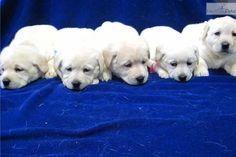 CRISTMAS LAB PUPS | Labrador Retriever puppy for sale near Tuscarawas Co, Ohio | 777e7ebe-4e41