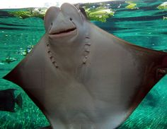 Manta Ray faces.