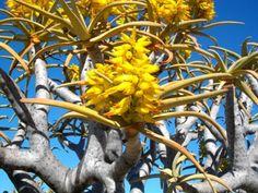 Aloe Dichotoma flowers Quiver Tree Kokerboom m m) SA no 29
