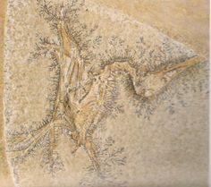 A Pterodactylus specimen from Solnhofen (Germany).  Helping to redefine the Lophocratia.