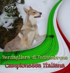 Bersagliera di Fossombrone ottiene il titolo di CAMPIONESSA ITALIANA 2018 🇮🇹🇮🇹🇮🇹 - proprietà: Alessia Poncina #NewItalianChampion Dog Show, Dogs, Doggies, Pet Dogs