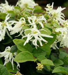 Loropetalums have a naturally elegant, layered habit that works beautifully in any landscape or container garden. By selecting a dwarf variety like Emerald Snow, you can give your shears a rest, and never worry about pruning again.