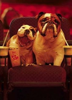 bulldog, cute, date, dogs, love, movie theater, popcorn, puppies, yawn