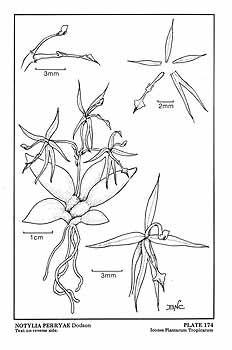 Macroclinium perryi