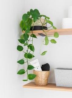 bathroom plants Tiny monochrome powder room with plants, open shelving for storage, a pedestal sink, Tiny Powder Rooms, Modern Powder Rooms, Hanging Plants, Indoor Plants, Hanging Baskets, Powder Room Decor, Powder Room Storage, Decoration Plante, Mosquito Repelling Plants