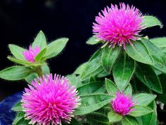 pink zazzle gomphrena (globe amaranth)