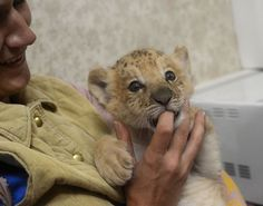 In Siberia, we find Kiara the liliger (a hybrid between a lion and a ligress) trying to coax some milk out of a finger at the Novosibirsk Zoo. Photo: Ilnar Salakhiev, Associated Press / SF