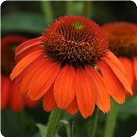 Echinacea Sombrero™ Flamenco Orange by 7 Sons tree; did not make it.
