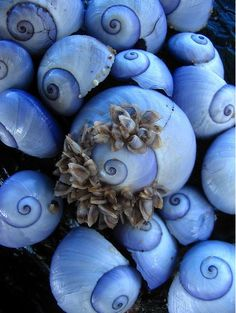 A macro of naturally purple sea snail shells washed up on the beach