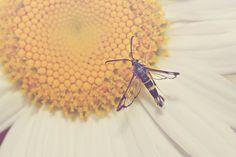 Moth Color Photo Print  hummingbird black by photosbynicolelynn, $15.00 #nicolelynnphotography #moth #flower #daisy #macrophotography #insect