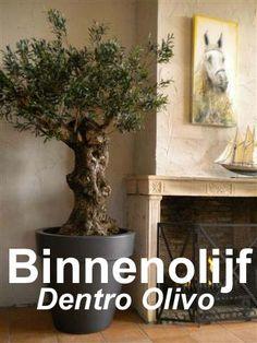 """De olijfboom voor in huis, op kantoor of horeca. De """"Dentro Olivo"""". Een authentieke stam met geïmplanteerd zijden blad. Heeft geen onderhoud nodig.  De Bergerie levert hierin maatwerk."""