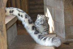 Baby snow leopard examines mom's tail