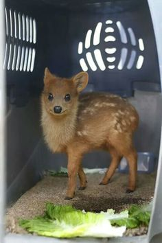 It's just a pudu - the smallest species of deer in the world. It's so cute, our hearts hurt. A pudu - world's smallest deer species Cute Creatures, Beautiful Creatures, Animals Beautiful, Cute Baby Animals, Animals And Pets, Funny Animals, Animal Pictures, Cute Pictures, Small Deer