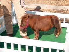 There are plenty of kids out there who dream of having their own pony or horse one day. But after they see Thumbelina, the dwarfed, miniature horse, she will be […] Guinness, Hemingway Cats, Polydactyl Cat, Tiny Horses, Amur Leopard, Horse Girl, Small Breed, Animals Of The World, World Records