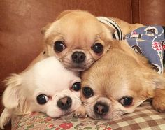 Chihuahua Love, Chihuahua Puppies, Cute Puppies, Dogs And Puppies, Cute Dog Photos, Cute Animal Pictures, Dog Pictures, Pet Dogs, Dog Cat