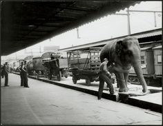 Wirths Circus arrives at platform 9, Spencer St. station in Melbourne, Australia.  Alice the 102 year old elephant helps unload the trains, 1948