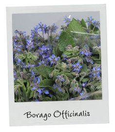 Borago Officinalis | New Arrival | Available in our webshop www.holex.com | Insights, your weekly floral update!