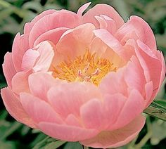 Peony - Paeonia 'Abalone Pearl' - A graceful coral-pink with a sunny golden center. Slightly fragrant.