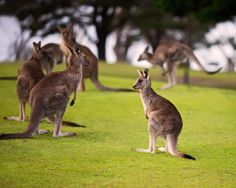 Baby Kangaroo by Ian Lumsden on 500px